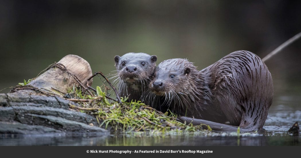 Nick Hurst captured these images of mother and cub otters on a Suffolk river